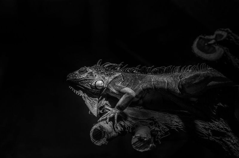 Close-up of a reptile against black background