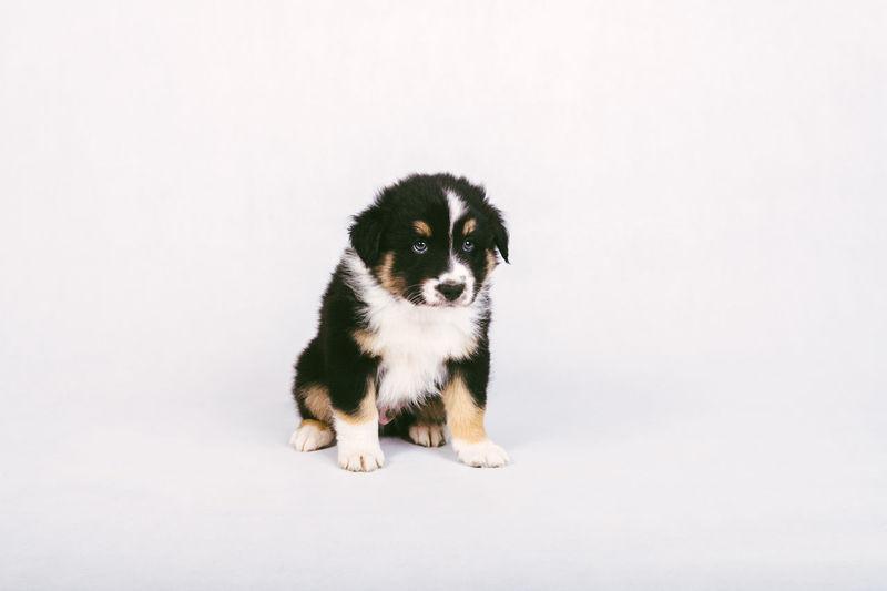 Portrait of puppy on white background