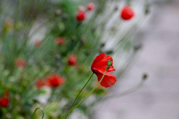 Poppy Flowers PoppySeed Mohnblume Mohn In My Garden