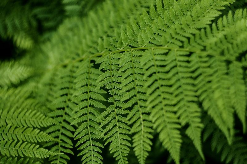 Green Color Green Nature Leaf Fern Backgrounds Growth No People Beauty In Nature Freshness Outdoors Close-up Day