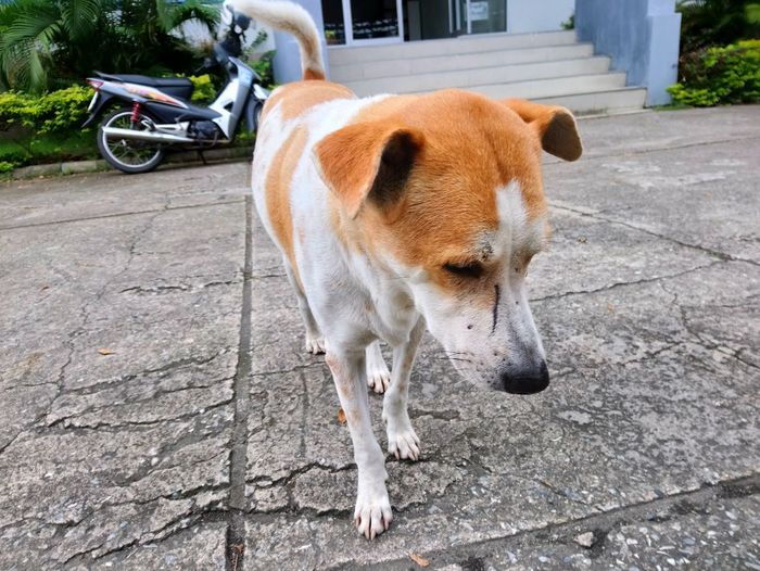Pets Dog Animal Themes Cobblestone Residential Structure Sidewalk Building Beagle Office Building Street Scene Manhole  Paving Stone Walkway Lane Pavement Historic Archway Exterior Parking Footpath Bicycle Rack Bollard Street Paved Settlement Fire Hydrant Alley Building Exterior Stationary Stray Animal