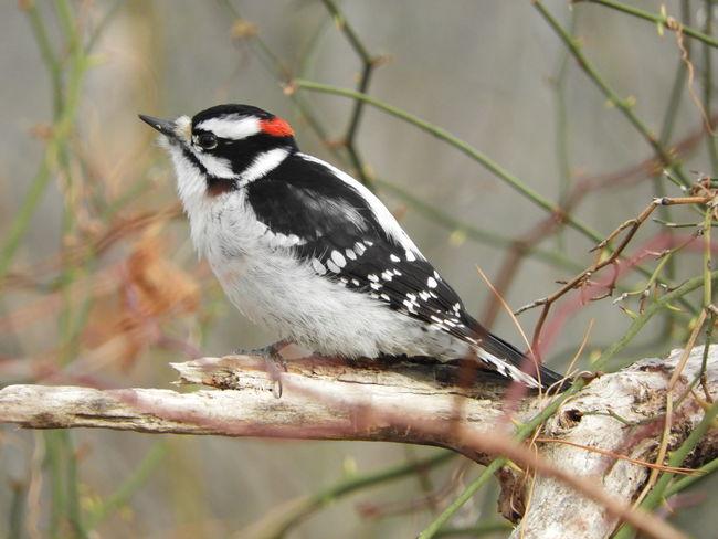 Downey Woodpecker Bird Photography Woodpecker In Tree Nature Photography Nature Beauty In Nature Winter Winter In Massachsetts