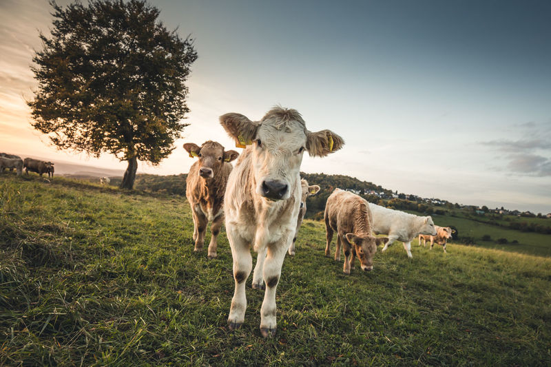 Portrait of cow standing on field against sky