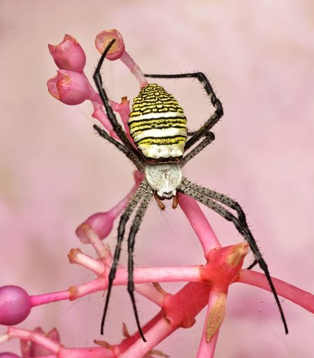Close-up of argiope spider on pink flower