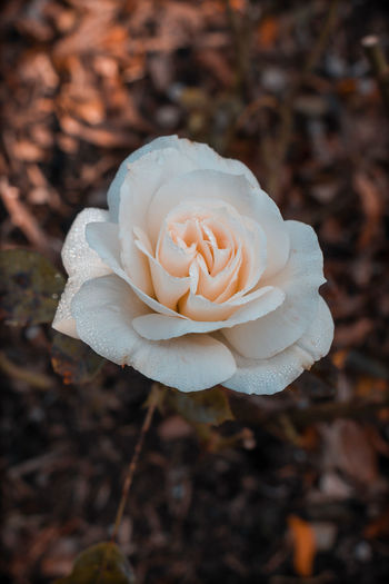 Close-up of white rose on field