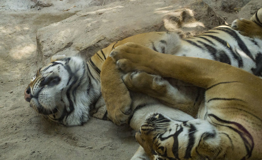 Tiger relaxing outdoors