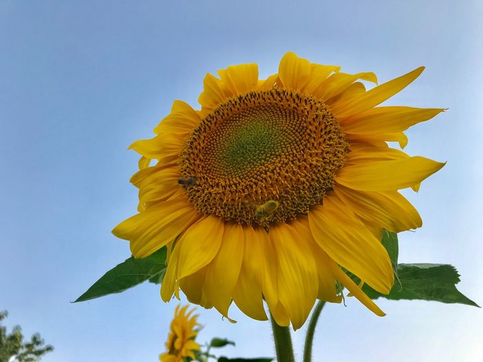 Sunflowers in the morning Flowering Plant Flower Head Flower Inflorescence Freshness Petal Growth Fragility Vulnerability  Yellow Plant Close-up Low Angle View Nature Pollen No People Sunflower