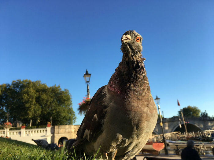 Close-up of pigeon on grass against clear blue sky