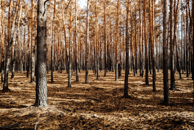 A forest after the fire in summer 2018 near Berlin Forest Tree Plant Land WoodLand Tree Trunk Trunk Nature No People Day Growth Tranquil Scene Beauty In Nature Scenics - Nature Environment Outdoors Pine Woodland Forest Fire Forestwalk Wood Woods Burned Yellow After Fire Nature_collection