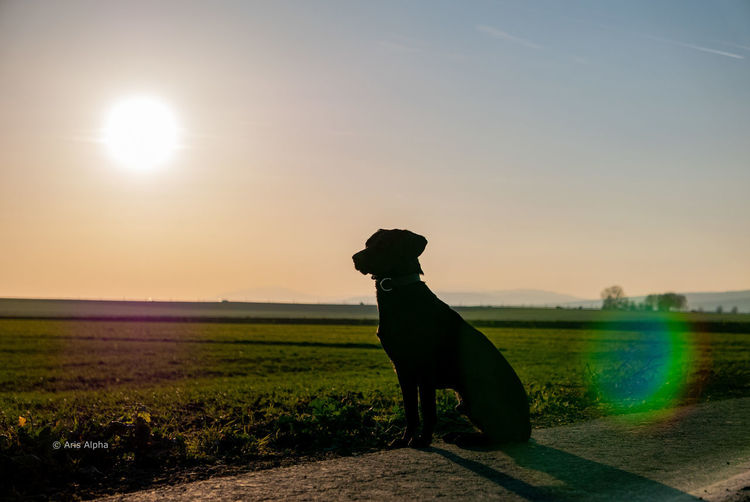 Dog standing on field during sunset