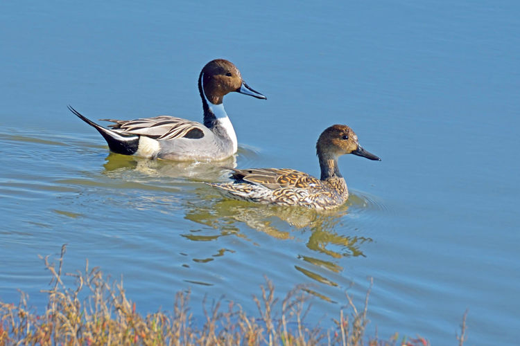 Northern Pintail Ducks 2 Anas Acute Anatidae Anatinae Dabbling Duck Birds🐦⛅ Avian Birdwatching Birds_collection Ornithology  Hayward Regional Shoreline Park Marsh Tidal Wetlands Ponds Estuaries Canals Nature Beauty In Nature Nature_collection Diet: Plant Food,small Invertebrates Nest: On The Ground Some Distance From Water Breeds: North Europe & Asia, North America Prefers Open Wetlands, Grasslands, Lakesides Northern Pintail Ducks San Francisco Bay