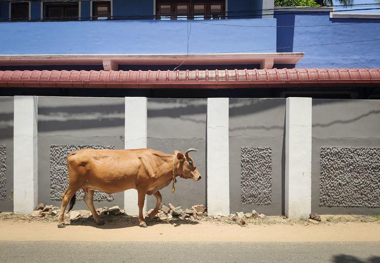 Side view of cow walking in street