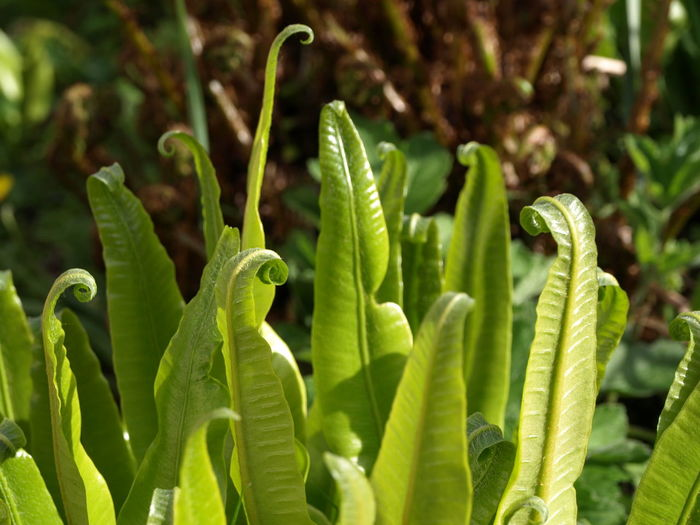 The unfurling leaf spirals of fresh green spring shoots of Hart's Tongue Fern (Asplenium scolopendrium) a native species to the UK - taken in a garden on the North Devon & Cornwall border, SW England. Asplenium Scolopendrium Leaves🌿 Spring Has Arrived Beauty In Nature Beginnings Close-up Fern Ferns Focus On Foreground Freshness Green Color Growth Harts Tongue Fern Leaf Leaves Nature Plant Plant Part Selective Focus Spiral Spirals Spring Spring Time Springtime Sunlight
