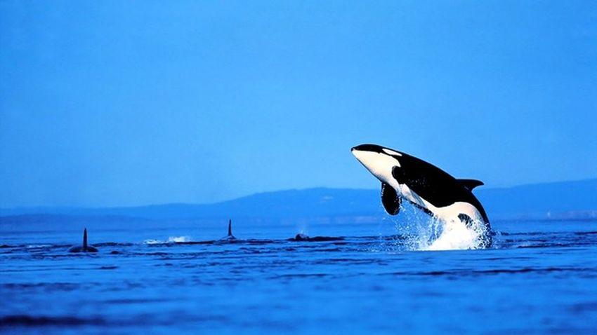 Cobalt Blue By Motorola Whale Killer Sea Landscape