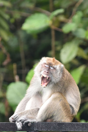 Animal Themes Animal Wildlife Animals In The Wild Close-up Day Focus On Foreground Mammal Monkey Monkey Showing His Teeth Mouth Open Nature No People One Animal Outdoors Sitting Yawning