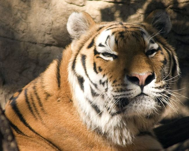 Animal Themes Animal Wildlife Animals In The Wild Close-up Day Mammal Nature No People One Animal Outdoors Tiger