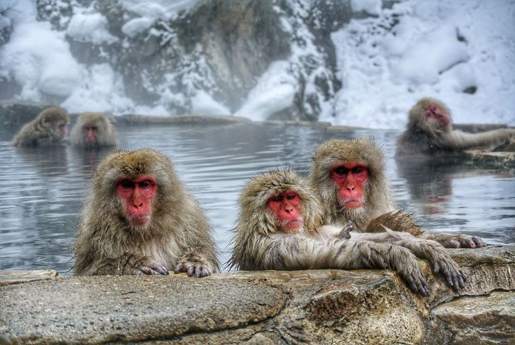 Snow Monkeys. 🇯🇵 Outdoors Japan Scenery Travel Onsen Snow Beauty In Nature Nature Photography Wildlife & Nature Wildlife Red Jigokudani-Snow-Monkey-Park Snow Monkey Bathing Animals In The Wild Nature Animal Themes Nagano Nagano, Japan Japan Japan Photography Japanese Macaque Hot Spring Water Baboon Cold Temperature Group Of Animals Primate Monkey Rock Formation Floating In Water