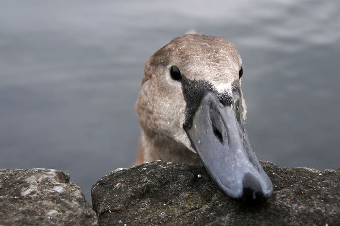 Animal Head  Animals In The Wild Beak Bird Close-up Cygnet One Animal Over The Parapet Rock Swan Ugly Duckling Water