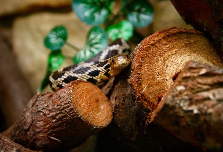 Asp Serpent Adder Viper  Snake Snake Photography Fuchsnatter Pantherophis Vulpina Animal Themes Focus On Foreground No People Reptile Snakes Are Beautiful Wood - Material