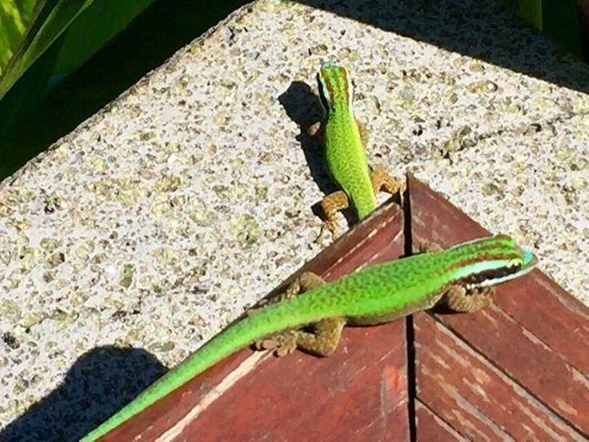Reptile Animal Themes Green Color Nature Animal Wildlife Gecko Lizard Reunion Island