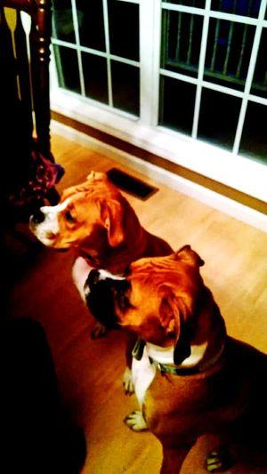 Pet Portraits Dog Pets Domestic Animals One Animal Animal Themes Indoors  Beagle No People Day Mammal Close-up