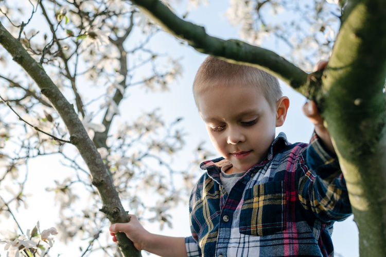 A boy hangs on a branch of a blossoming magnolia tree and looks down.