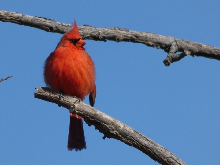 Cardinal's Song Redbird Cardinal Red Low Angle View Perching Branch One Animal Bird Animals In The Wild Animal Themes Animal Wildlife Clear Sky Beauty In Nature Outdoors Nature