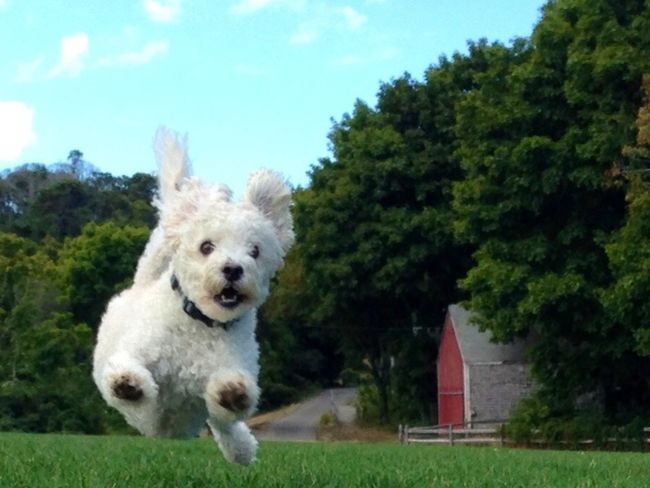 Maltese Poodle having fun Animal Themes Dog Maltese Poodle Check This Out dog jumping cute Pets Outdoors One Animal Poodle Art Photography Art Unbelievable Determination running having fun perfect timing Pet Portraits
