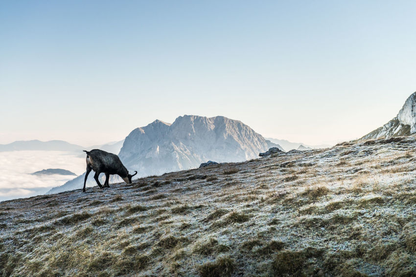 Animal Themes Austria Beauty In Nature Buchstein Chamois Clear Sky Cold Temperature Day Domestic Animals Gesäuse Mammal Mountain Nature No People One Animal Outdoors Scenics Sky Snow Styria Sunset Winter
