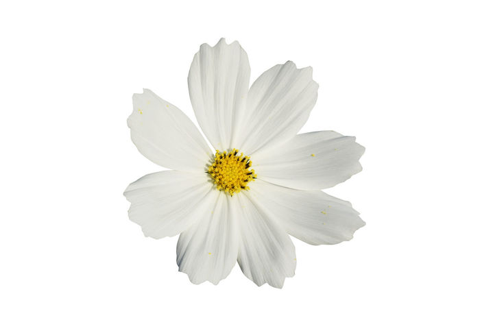 Beauty In Nature Close-up Day Flower Flower Head Fragility Freshness Nature No People Petal Pistil Plant Pollen Studio Shot White Background White Color
