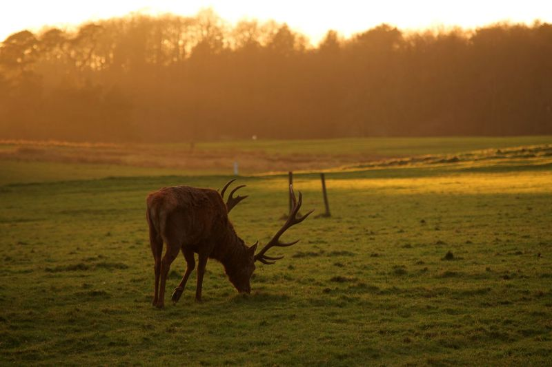 Stag Deer Animal Themes One Animal Field Nature Mammal No People Landscape Beauty In Nature Sunset Tranquil Scene Grass Outdoors Tranquility Animals In The Wild Day Sky Scenics Tree