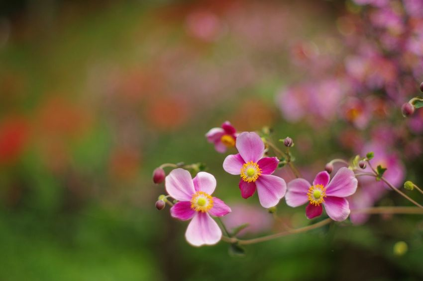 秋明菊 Flower Pink Color Nature Beauty In Nature Freshness No People Outdoors Petal Fragility Blooming Day Flower Head EyeEm Nature Lover Pentax Oldlens
