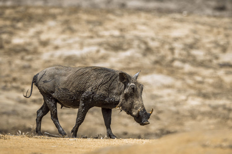 Side view of warthog walking in forest