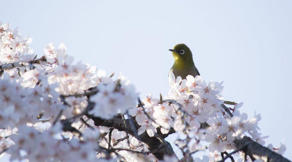 Sakura 枝垂れ桜 桜 Cherry Blossoms 京都 3月 Japan Photography EyeEm Best Shots EyeEm Japan Eyemphotography EyeEmBestEdits Japan メジロ