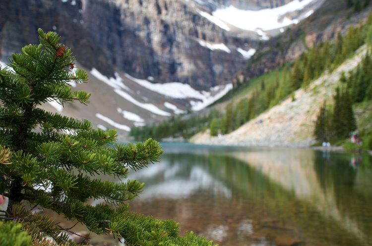 Banff National Park  Canadian Rockies  Copy Space Travel Photography Close-up depth of field Focus On Foreground Glacial Lake Lake Agnes Landscape Mountains And Lakes Peaceful Refreshing Spruce Tree By The Edge Of A Lake