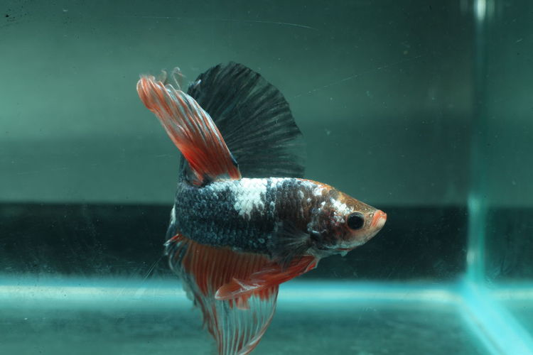 Animal Themes Animals In The Wild Close-up Day Fish Fishbowl Goldfish Lake Nature No People One Animal Outdoors Sea Life Swimming Underwater Water Waterfront