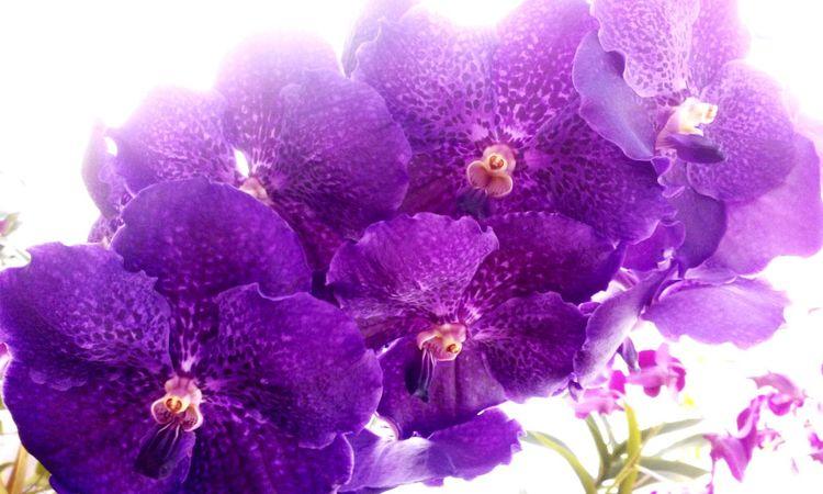 Taking Photos Light And Shadow Flowers Naturelovers Purple Vanda Orchid