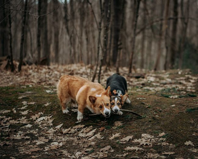 Sharing is caring Escape Fear Leaves Dogs Corgi Stick Tug Of War Competition Sharing  Forest Mammal Animal Themes Animal Domestic Animals Domestic Pets One Animal No People Tree Forest Nature Outdoors Day