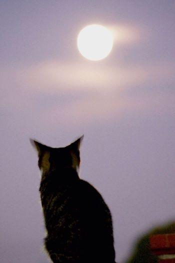 月を見つめる猫