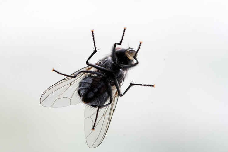 Aasfly Animal Antenna Animal Markings Animal Themes Animal Wing Brummer Close-up Cut Out CutOut Drinking Fliege Fly Focus On Foreground Insect Isolated Macro_collection Nature No People Outdoors Schmeissfliege Studio Shot White Background Wildlife