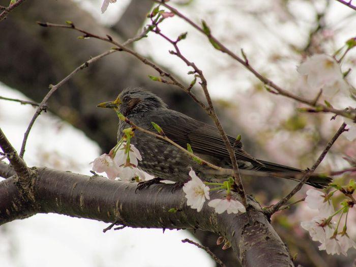 Bird Browneared Bulbul Cherry Blossoms Close-up Heijokyo Japan Nature No People Outdoors Tokina At-x Af 400mm 3XSPUnity