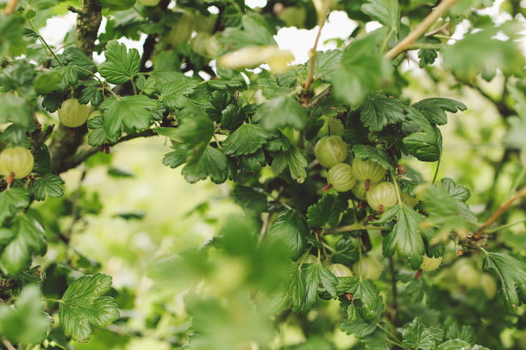 CLOSE-UP OF RIPE GOOSEBERRIES ON BRANCHES