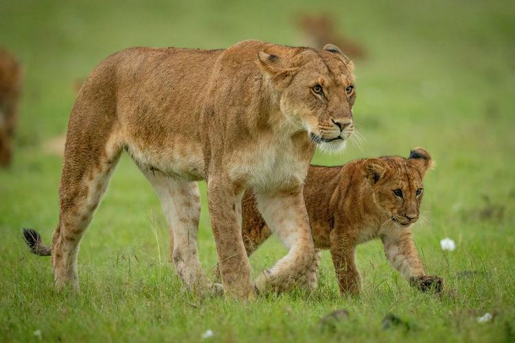 Full length of a lion