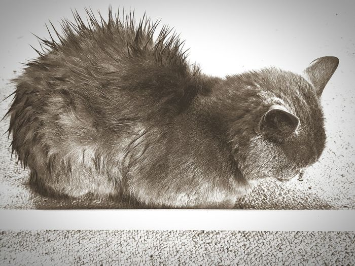 EyeEm Selects EyeEmNewHere Kitten Spikey Hair Black And White Domestic Animals Pets One Animal Furr