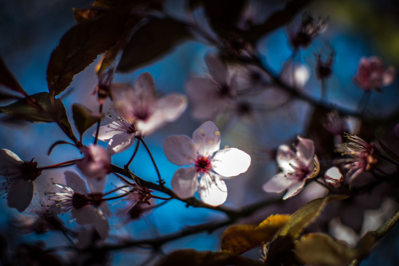 Almond Tree Beauty In Nature Blossom Branch Close-up Day Flower Flower Head Fragility Freshness Growth Nature No People Outdoors Petal Plum Blossom Sky Spring Spring Time Springtime Tree