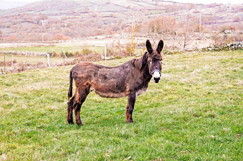 Donkeyboy Domestic Animals Grass Domestic Mammal Field Pets Land Vertebrate Working Animal Donkey Galicia, Spain Galicia Ourense Orense,Spain Aldea Peublo JACKASS Charge Animal Nature Traditional Cultivation Donkey Ears Look At The Camera Good Animals Goodness Burrito