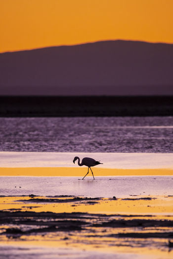 Silhouette flamingo at beach during sunset
