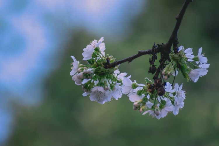 Beauty In Nature Blooming Blossom Branch Close-up Day Flower Flower Head Fragility Freshness Growth Nature No People Outdoors Petal Tranquility Tree