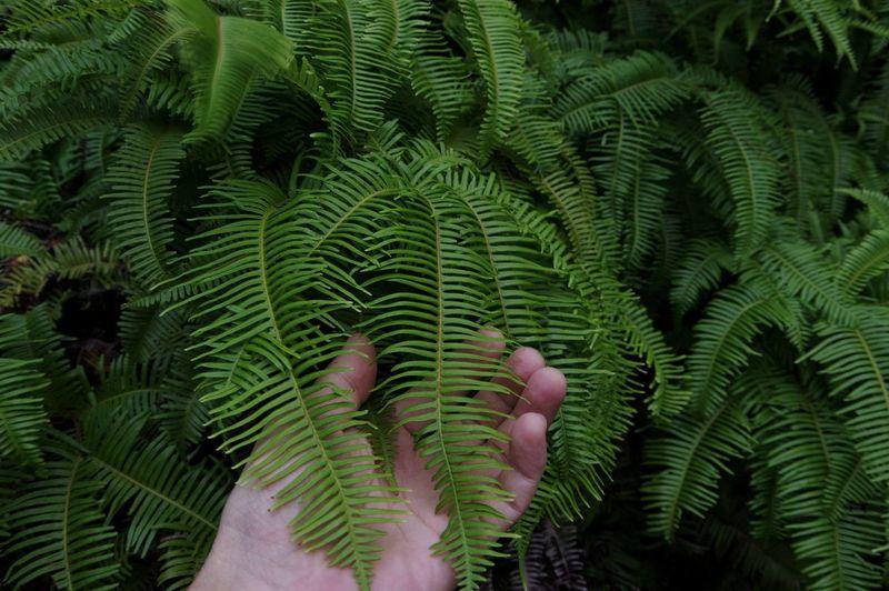 Fern Plant Leaf