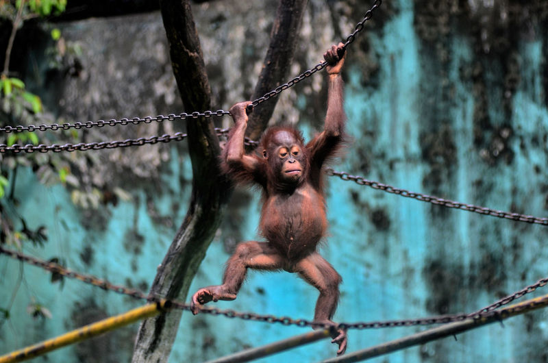 Close-up of orangutan hanging on chain at zoo